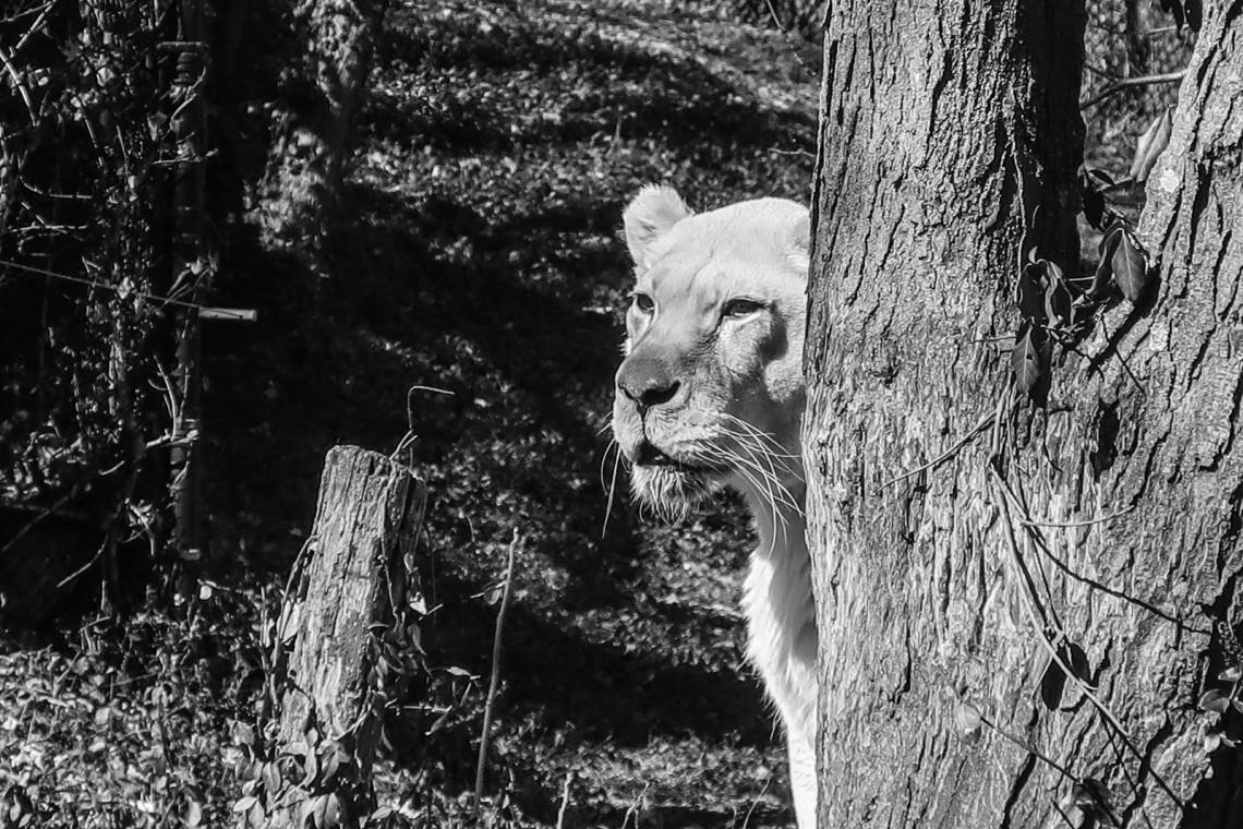white lion_
